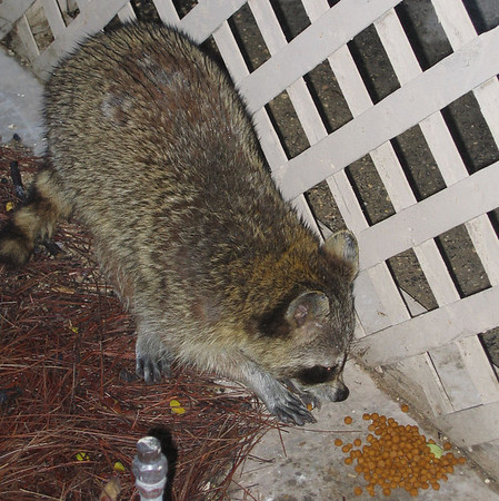 A large wet raccoon eating the cat food outside (181_8116)