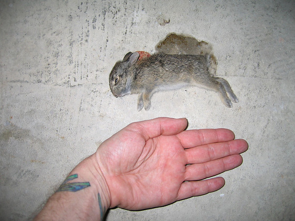 My hand next to the dead baby bunny on the patio showing scale (184_8484)