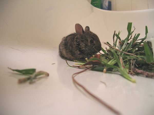 The baby bunny huddled next to the pile of grass in the bathtub (185_8510)