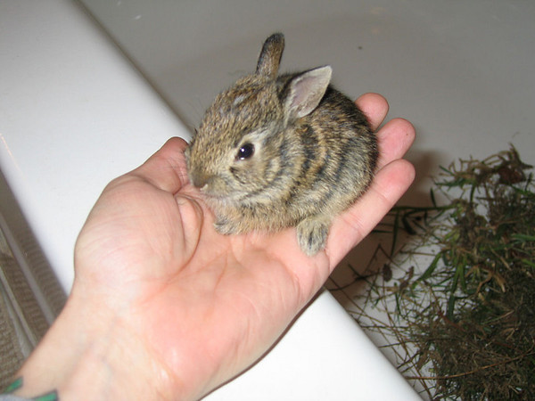 The baby bunny sitting in my hand (185_8555)