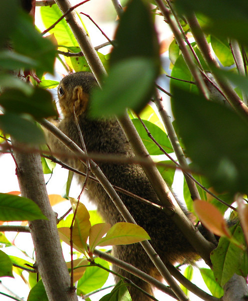 A juvenile eastern fox squirrel (Sciurus niger) precariously hanging on within the cover of photinia bushes (20080322_02796)