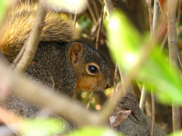 A close-up of a juvenile eastern fox squirrel (Sciurus niger) as she perches within the cover of photinia bushes (20080322_02802)