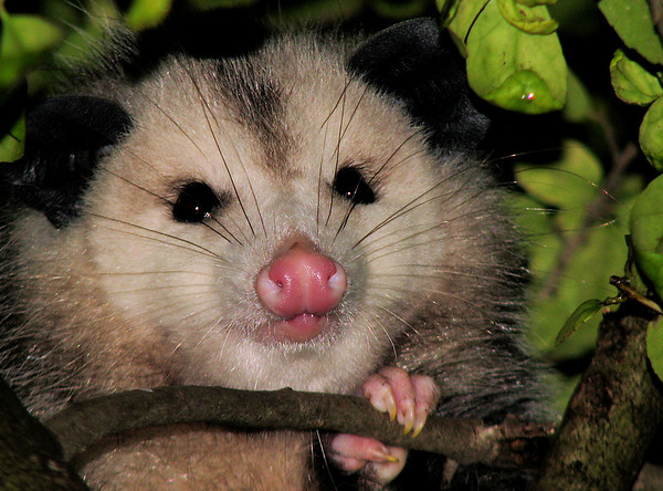 Close-up of a Virginia opossum (a.k.a. possum; Didelphis virginiana) in a tree (20081128_15297)
