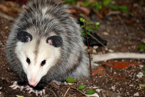 A Virginia opossum (a.k.a. possum; Didelphis virginiana) staring at me (2008_12_19_002629)
