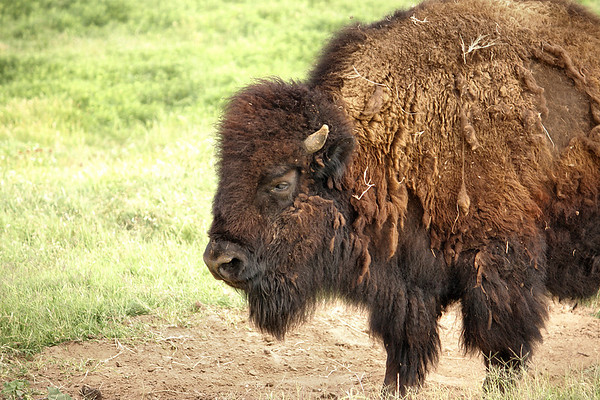 An American bison (a.k.a. American buffalo; Bison bison) standing in a meadow (2009_05_22_019935)