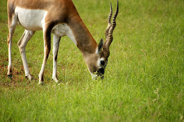 A male blackbuck (a.k.a. Indian antelope; Antilope cervicapra) grazing in a field (2009_05_22_019978)