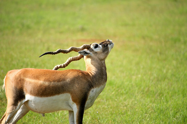 A young male blackbuck (a.k.a. Indian antelope; Antilope cervicapra) scratching his hindquarters with his horn (2009_05_22_019983)