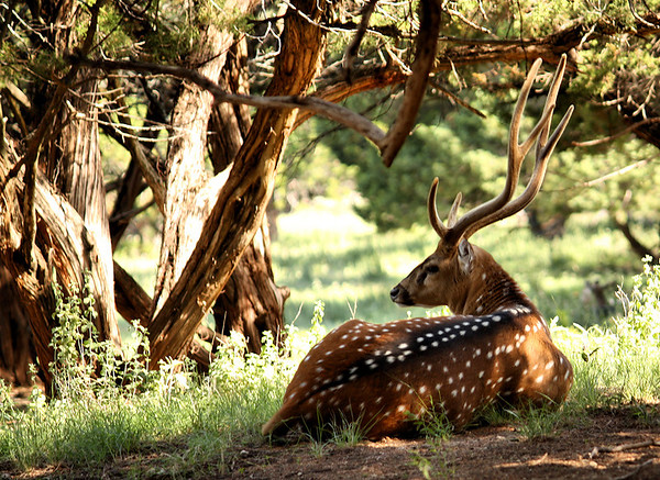 A male chital (a.k.a. cheetal, chital deer, spotted deer or axis deer; Axis axis) resting in the shade beneath a canopy of trees (2009_05_22_020395)