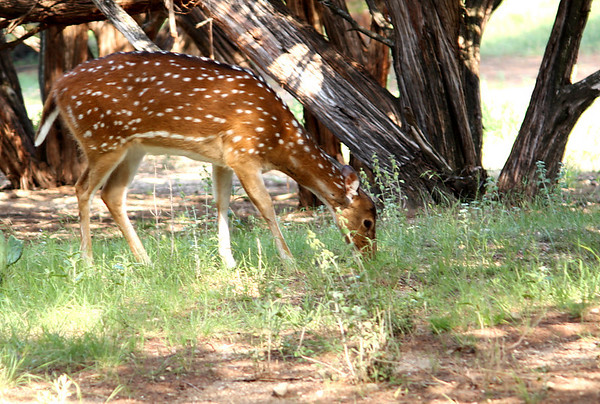 Female chital (a.k.a. cheetal, chital deer, spotted deer, or axis deer; Axis axis) grazing by a tree (2009_05_22_020398)