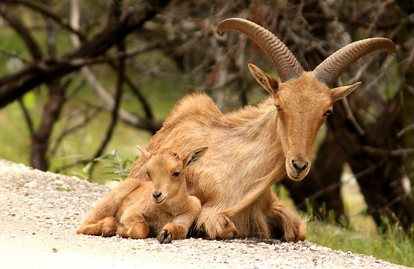 A female aoudad (a.k.a. barbary sheep, arui or waddan; Ammotragus lervia) resting with her young (2009_05_22_020809)