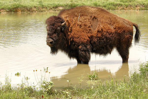 An American bison (a.k.a. American buffalo; Bison bison) standing in a small pond (2009_05_22_020940)