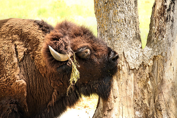 An American bison (a.k.a. American buffalo; Bison bison) scratching its face on a tree (2009_05_22_020943)