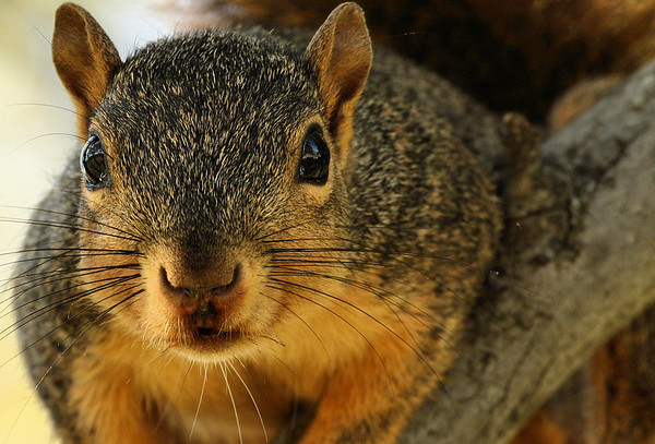 Close-up of a fox squirrel (a.k.a. eastern fox squirrel, stump-eared squirrel, raccoon squirrel or monkey-faced squirrel; Sciurus niger) (2009_09_27_029754)