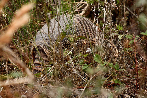 A nine-banded armadillo (Dasypus novemcinctus) digging behind tall grass (2009_12_13_044434)
