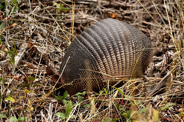 A nine-banded armadillo (Dasypus novemcinctus) digging in the ground (2009_12_13_044474)