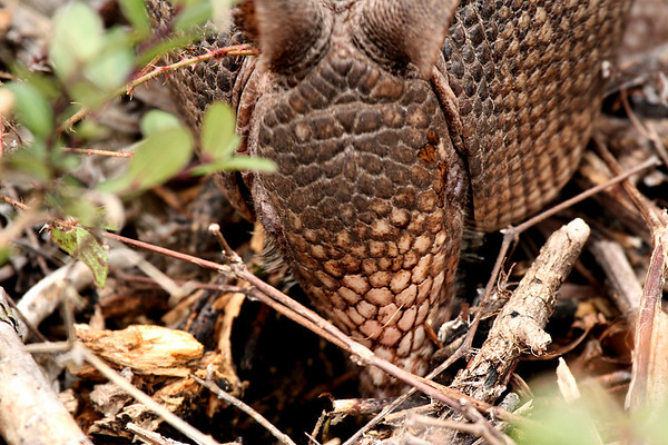 A nine-banded armadillo (Dasypus novemcinctus) with its nose in the ground (2009_12_13_044519)