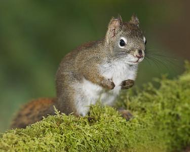 Douglas Squirrel Tamiasciurus douglasii