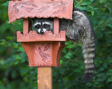 Raccoon in bird feeder