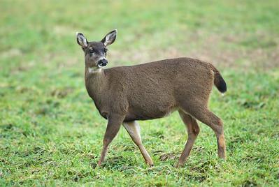 Black-tailed Deer Odocoileus hemionus