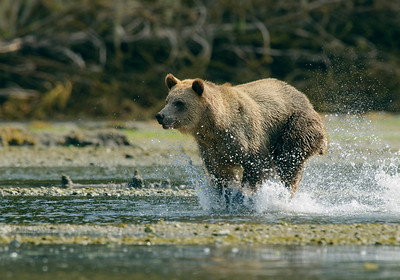 Grizzly and cub at Glendale Cove on Knight Inlet, chasing fish