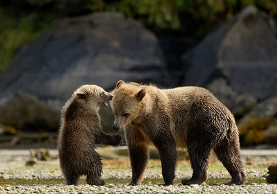 Grizzly Bear and cub, Glendale Cove, Knight Inlet