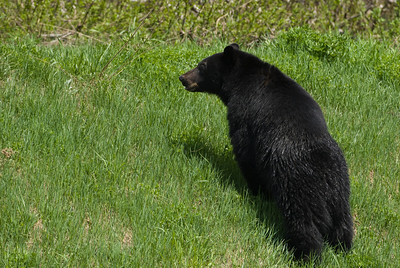 Mount Washington Parkway American Black Bear Ursus americanus