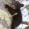 Image of Faith taken May 2011. Love her brown cub fur against the tree. Faith was born in 2011. Ursus americanus (American Black Bear).