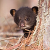 Image of Faith taken April 2011. Faith was born in January 2011.  Ursus americanus (American Black Bear).