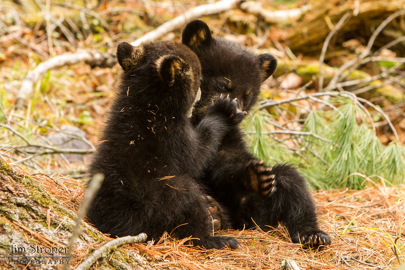 Image of Juliet's cubs playing taken April 2012.  Juliet was born in 2003 and her cubs in January 2012.   Ursus americanus (American Black Bear).