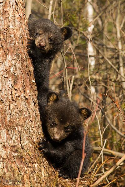 Image of Juliet's cubs taken April 2012.  The cubs were born in January 2012.   Ursus americanus (American Black Bear).