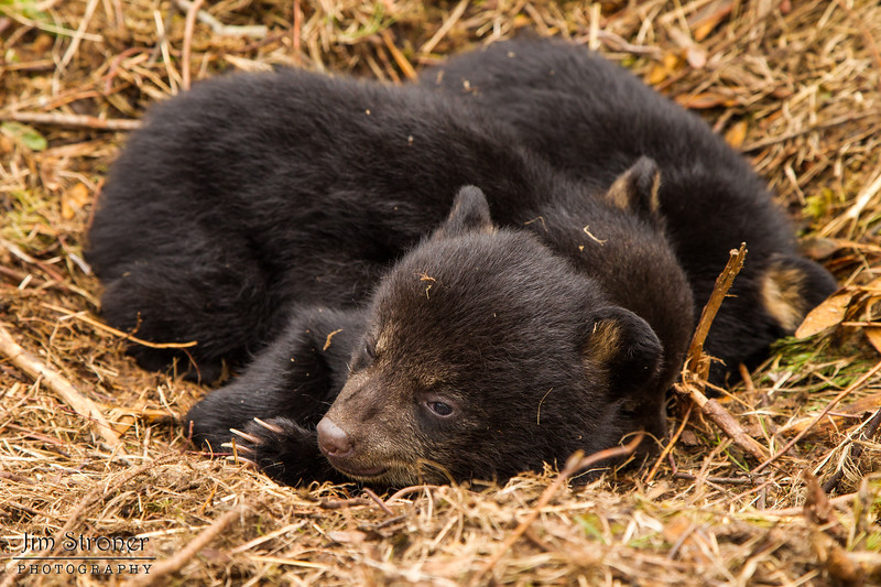 Image of Juliet's three cub's taken march 2012 just after leaving the den.  The cubs are still too small to travel far but water has forced them out of the den.     Ursus americanus (American Black Bear).