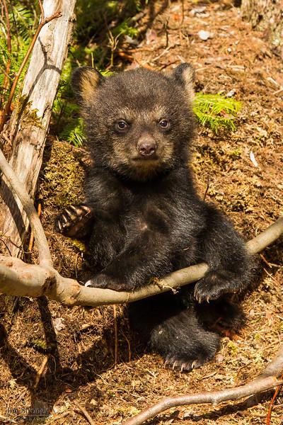 Image of Juliet's female cub taken April 2012.  The cubs were born in January 2012.   Ursus americanus (American Black Bear).