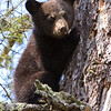 Image of June's female cub Aster taken May 2011.  Aster was born January 2011 along with her brother Aspen.  Ursus americanus (American Black Bear).