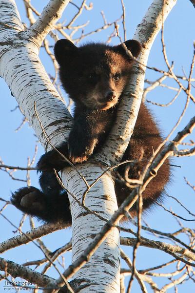 Image of June's daughter Jewel taken May 2009. Jewel was born in January 2009. Ursus americanus (American Black Bear).