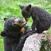 Image of Lily and her cub Hope taken in May 2010 shortly after their first reunion. Lily was born in 2007 and Hope in 2010. Ursus americanus (American Black Bear).