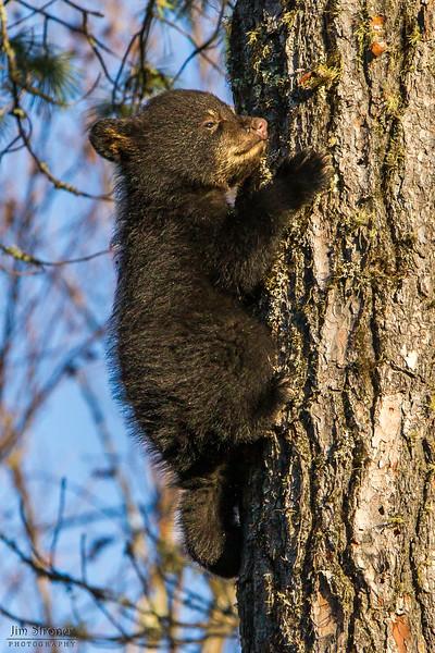 Image of Jewel's female cub Fern climbing down a white pine taken April 2012.  Fern was born in January 2012. Ursus americanus (American Black Bear).