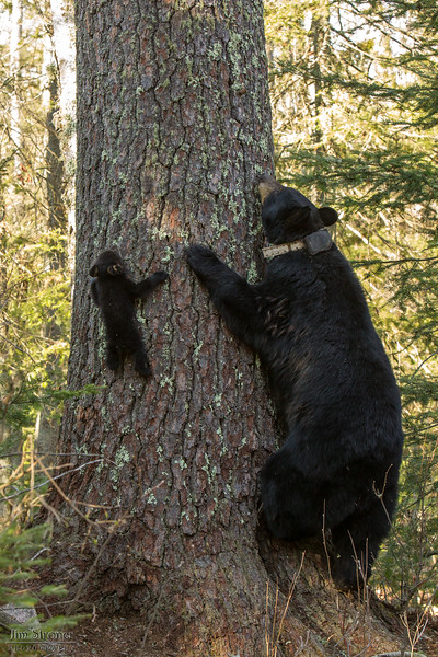 Image of Juliet and one of her three cubs on a HUGE white pine taken April 2012.   This was one of the biggest white pines I have seen in the area and it really shows the difference in size between mother and cub at this stage in the cubs life.    Ursus americanus (American Black Bear).