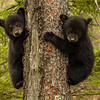 Image of two of Juliet's three cub's taken early April 2012. The cubs are still too small to travel far but water has forced them out of the den.     Ursus americanus (American Black Bear).