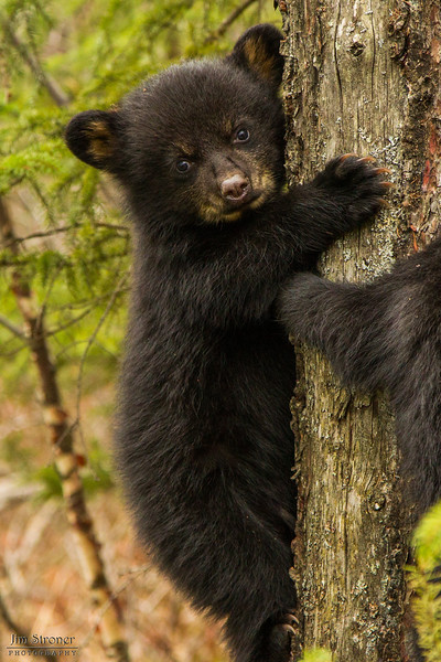 Image of one of Juliet's three cub's taken early April 2012. The cubs are still too small to travel far but water has forced them out of the den.     Ursus americanus (American Black Bear).