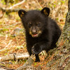 Image of Juliet's cub Sam taken April 2012.  Juliet was born in 2003 and her cubs in January 2012.   Ursus americanus (American Black Bear).