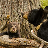 Image of Juliet and her cub Sybil taken April 2012.  Juliet was born in 2003 and her cubs in January 2012.   Ursus americanus (American Black Bear).