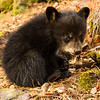 Image of Juliet's cub Sophie taken April 2012.  Juliet was born in 2003 and her cubs in January 2012.   Ursus americanus (American Black Bear).