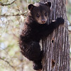 First image of Jo's cub Victoria taken April 2011 shortly after leaving her den. Victoria was born in January 2011.  Ursus americanus (American Black Bear).