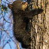Image of Jewel's female cub Fern climbing down a white pine taken April 2012.  Fern was born in January 2012. Ursus americanus (American Black Bear).