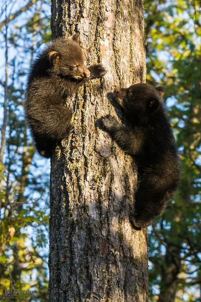 Image of Jewel's cub's Fern and Herbie climbing down a white pine taken April 2012.  Herbie was born in January 2012. Ursus americanus (American Black Bear).