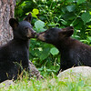 Image of two of Braveheart's three cub's taken July 2011. Cubs were born on 2011. Ursus americanus (American Black Bear).