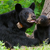 Image of Braveheart and one of her 3 cubs taken July 2011. Braveheart was born in 2002 and the cub in 2011. Ursus americanus (American Black Bear).