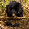 Image of Juliet watching over her three cub's taken March 2012 just after leaving the den.  The cubs are still too small to travel far but water has forced them out of the den.     Ursus americanus (American Black Bear).