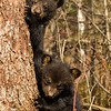 Image of Juliet's cubs taken April 2012.  The cubs were born in January 2012.   Ursus americanus (American Black Bear).
