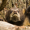 Image of Juliet's cub Sybil giving me the long nose taken April 2012.  Juliet was born in 2003 and her cubs in January 2012.   Ursus americanus (American Black Bear).